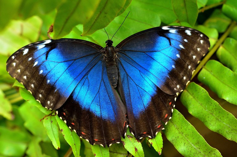 The mesmerizing Blue Morpho butterfly