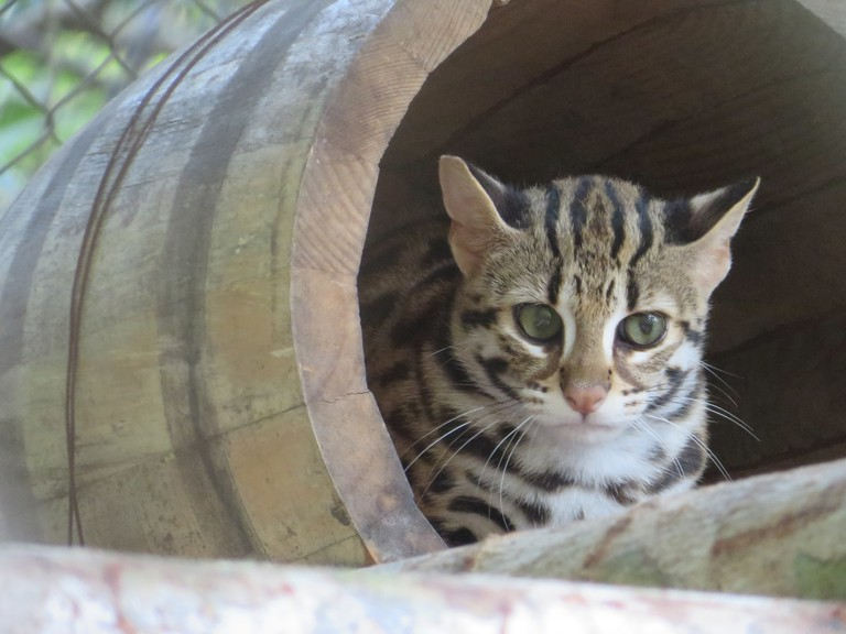 Leopard cats are a rare sight in the wild but can be seen at various conservation centers