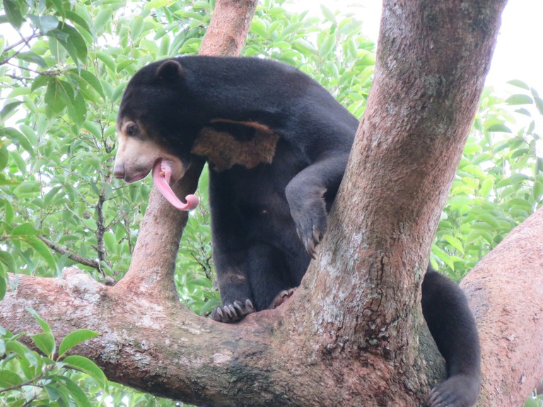 Sun bears can be seen at Phnom Tamao Wildlife Centre