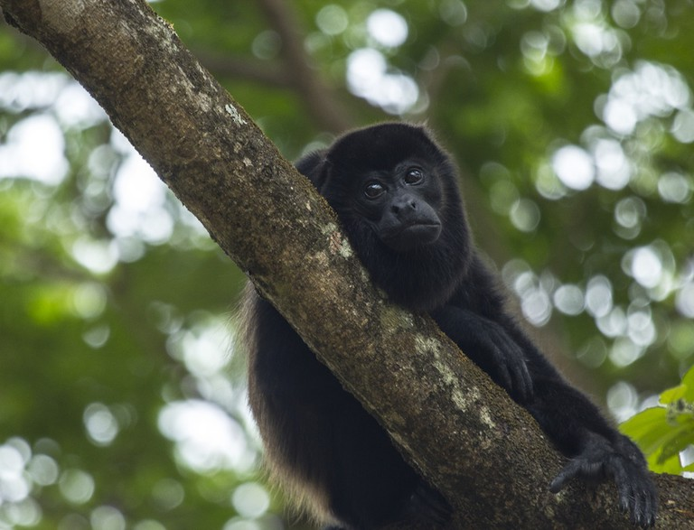 The Howler monkey is the second loudest animal in the world