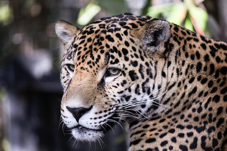 A stunning jaguar lurks in the dense jungle