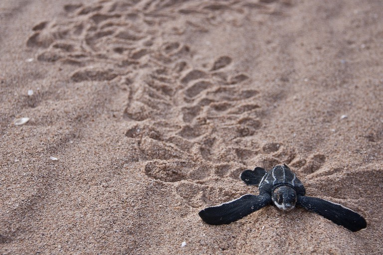 Ostional is famous for its leatherback turtle arribadas