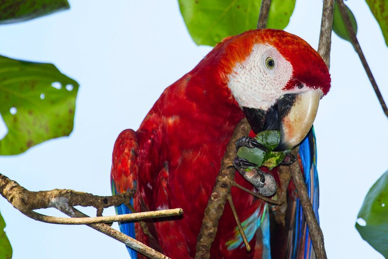 Macaws are truly exquisite birds which nest in their thousands in Costa Rica