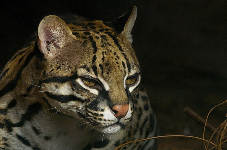 The elusive and very rare ocelot hunts under the cover of night