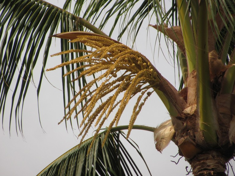 Palm spathe when closed is tapped for palm wine