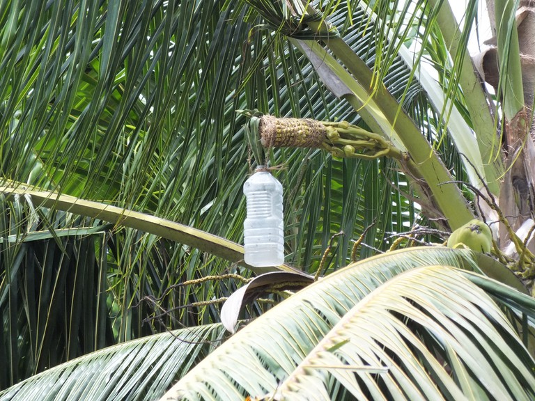 Sap of the palm being collected for palm wine