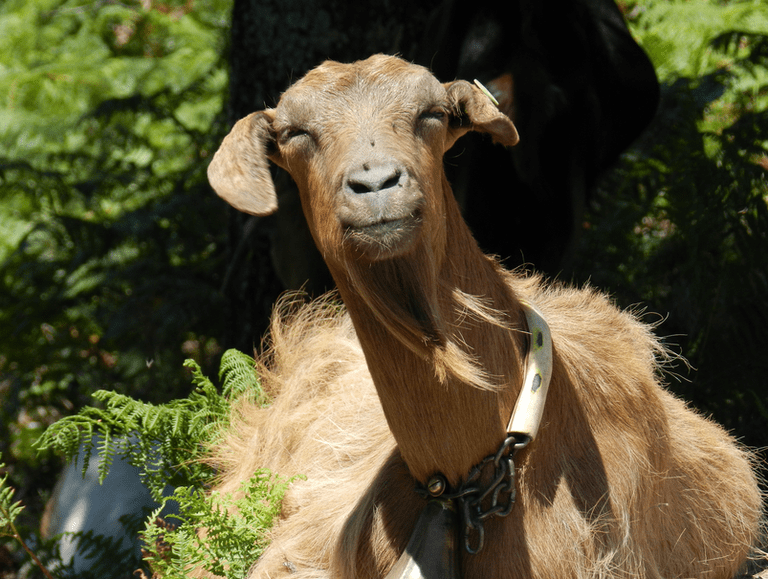 What a beautiful goat