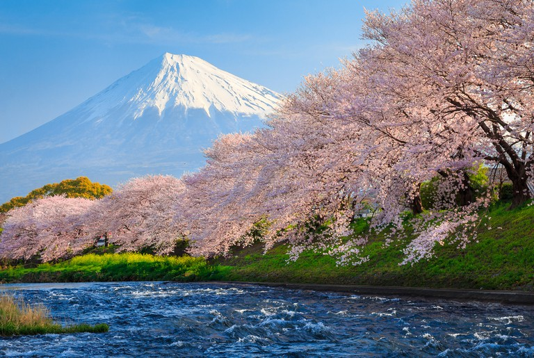 Cherry Blossom near  Mount Fuji