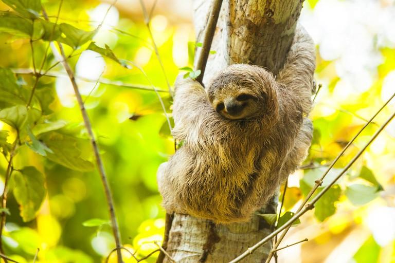 The iconic and idyllic sloth smiles slowly