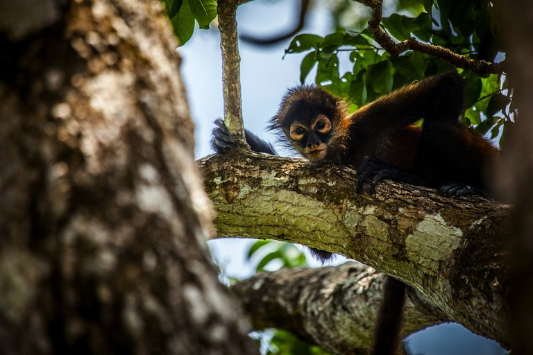 Spider monkeys communicate in cute little chirps
