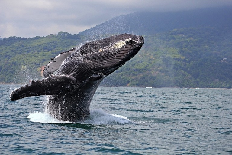 December through April hosts the most migrating humpback whales on the Pacific costa of Costa Rica