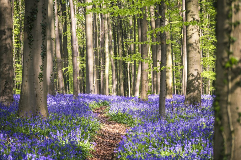 One of the Hallerbos' winding paths, never to be strayed from during blooming season