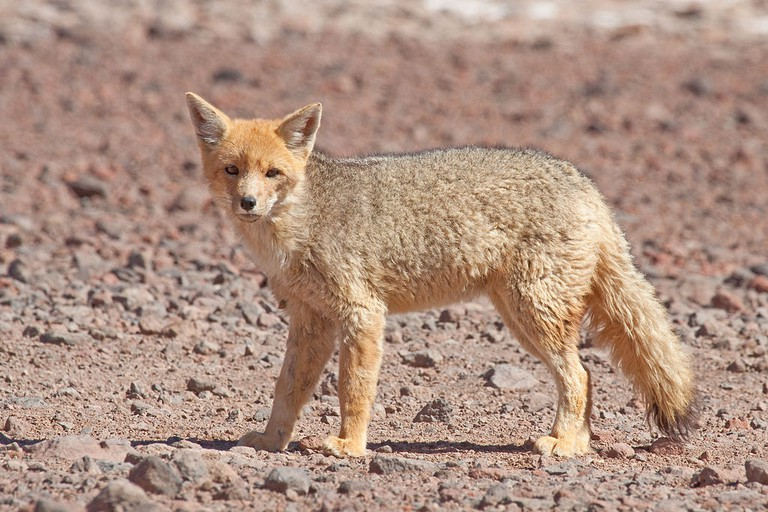 Culpeo, or Andean fox