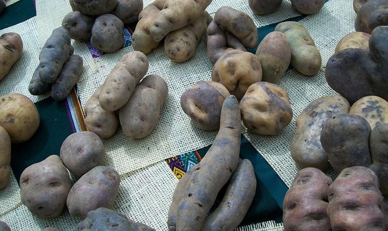 Native Peruvian potatoes