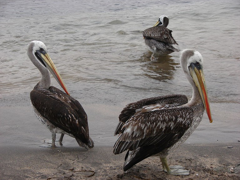 Several Peruvian pelicans in Pan de Azucar National Park in Chile September 2009