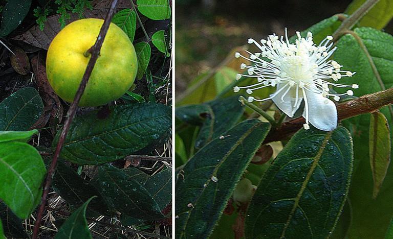 Araza Colombian Fruit