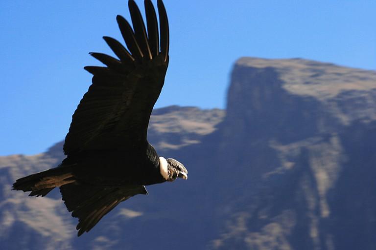 A condor gliding
