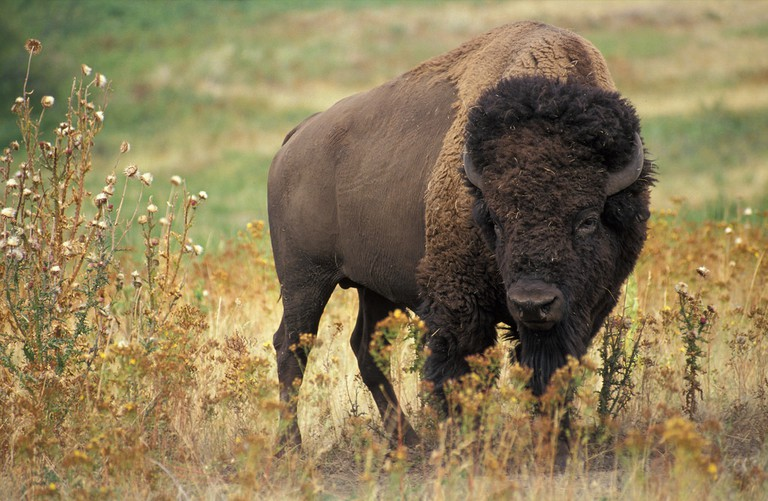 Wood Buffalo is home to Bisons | © Kabsik Park / Flickr