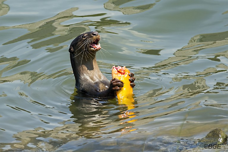A hungry otter at Gardens by the Bay