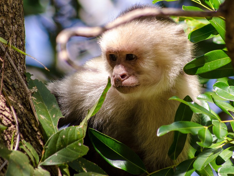 Charismatic white-faced capuchin are likely to come steal your food