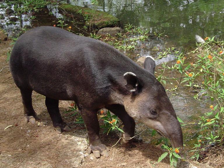 Sweet face of a tapir