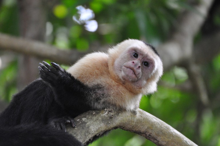 Capuchin monkeys are common in Costa Rica