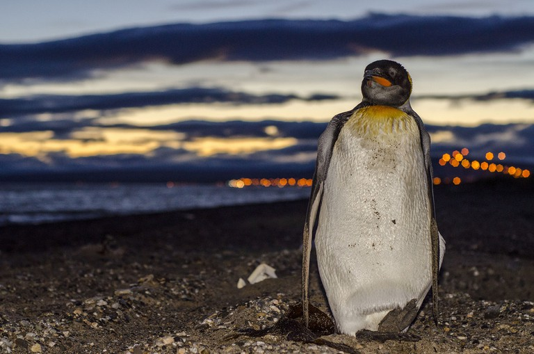 A penguin on Punta Arenas