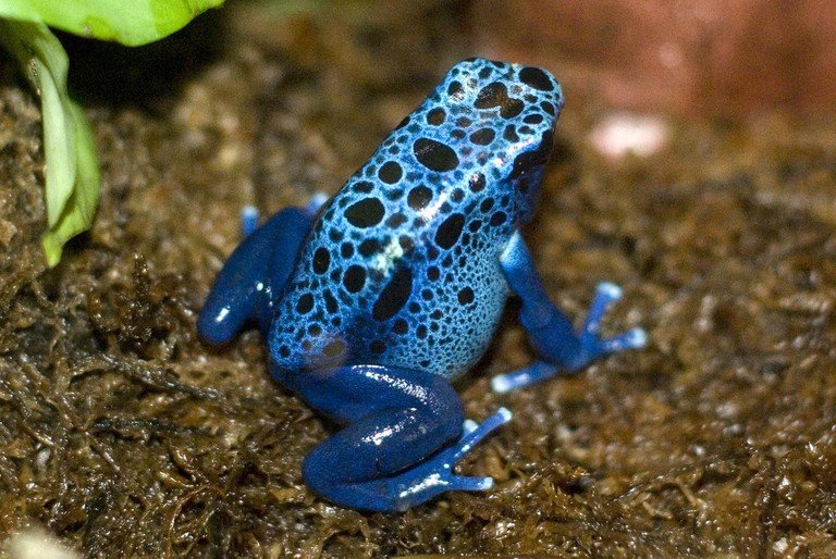 Beautifully patterned poison dart frog