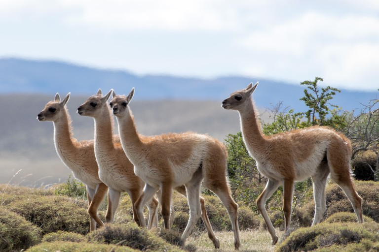 Chilean guanaco, a relative of the llama