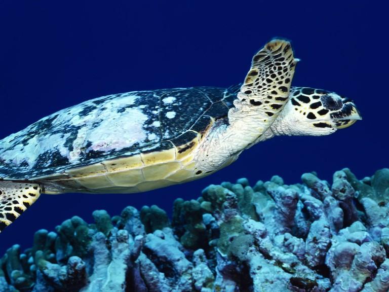 Loggerhead turtle, Papua New Guinea | © Ajith Kumar