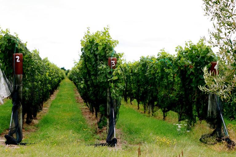 Vineyard just outside Martinborough