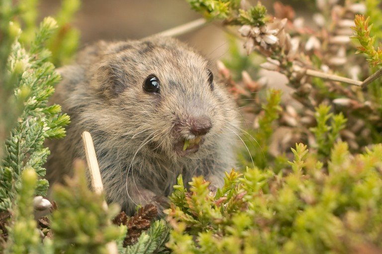 A lemming in a shrub