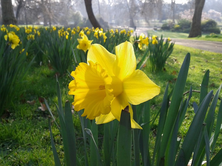 Daffodils in St James' park