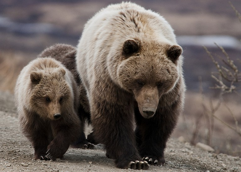A Grizzly Bear and her cubs