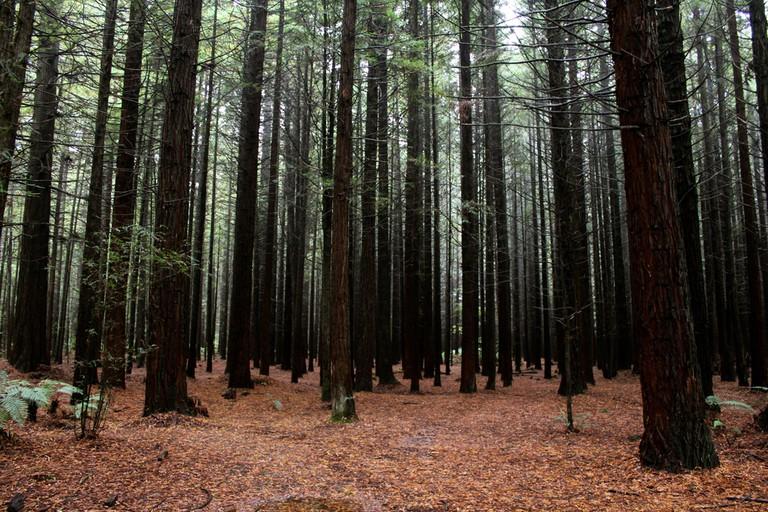 Redwoods Whakarewarewa Forest in Rotorua
