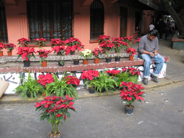 Nochebuenas in Condesa