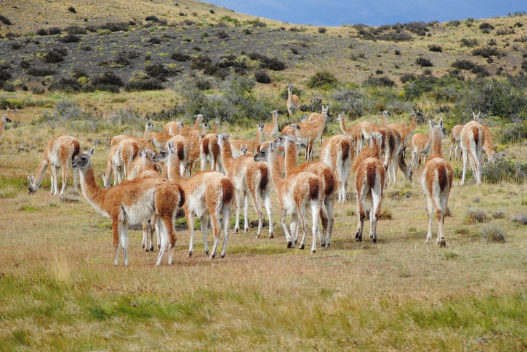 Herd of guanaco in Chile