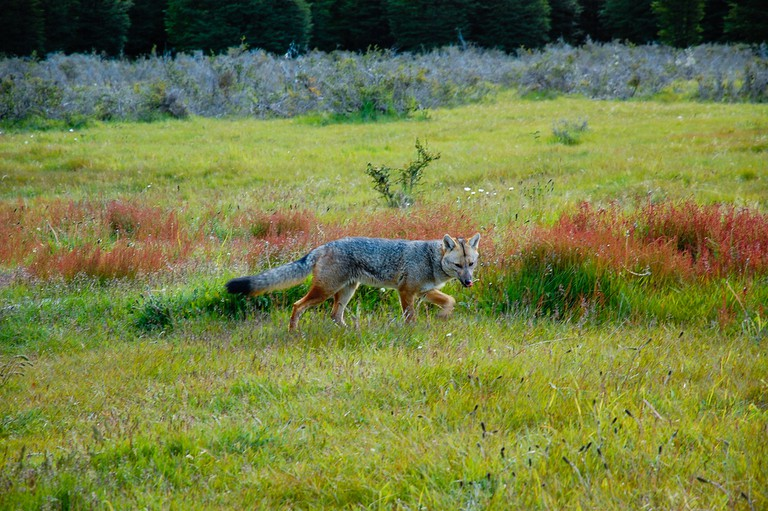 The Patagonian fox is also known as the South American gray fox