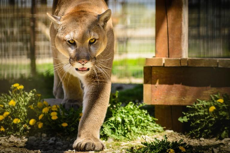 Cougar, or Mountain Lion