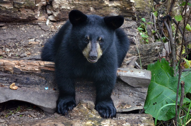 American Black Bear cub | © USFWSmidwest / Flickr