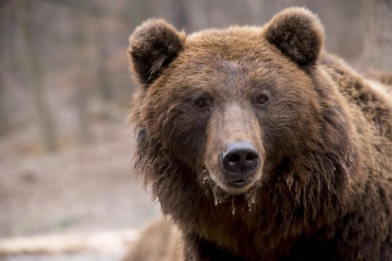 Brown bear/ Pixabay