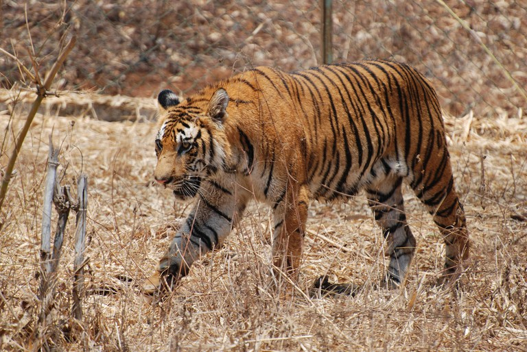 Bengal tiger found at Mhadei Wildlife Sanctuary | © Paul Mannix / Flickr