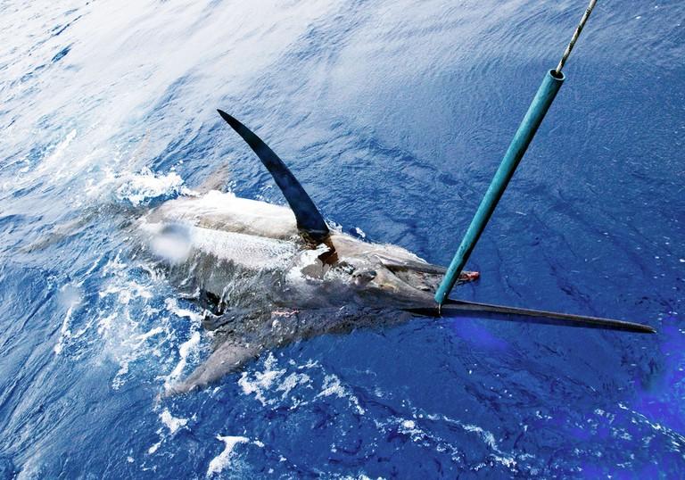 A blue marlin, the national fish of the Bahamas