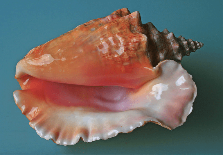 The Queen Conch