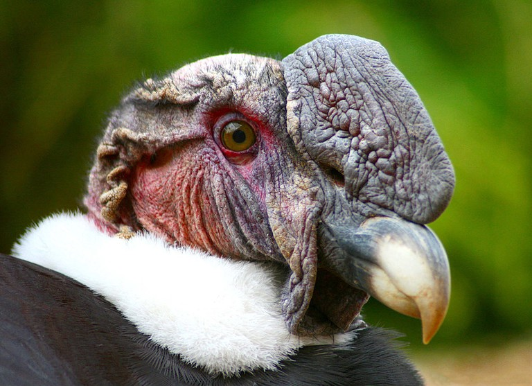 Male condors have white feathers in their necks