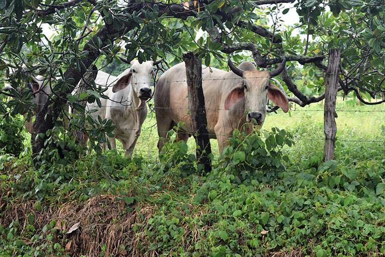 Hungry cows are happy when the rainy season begins