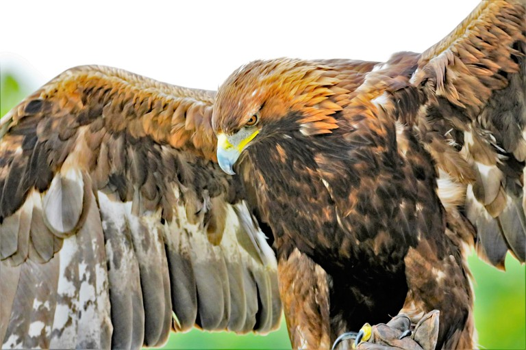A golden eagle with wings outstretched