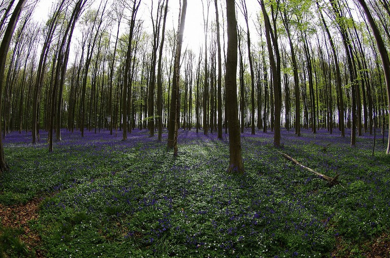 Besides delivering a blue-hued fairytale setting, the Hallerbos is also known as a natural remnant of Roman times