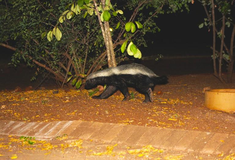 A honey badger at Satara rest camp