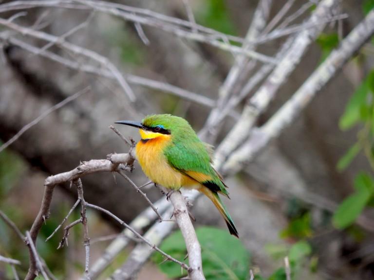 A little green Bee-eater